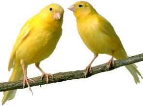 Care of Canary Birds
