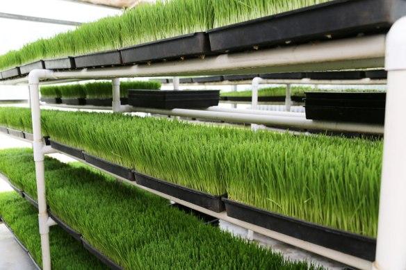 wheatgrass-2+