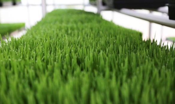 wheatgrass-4+