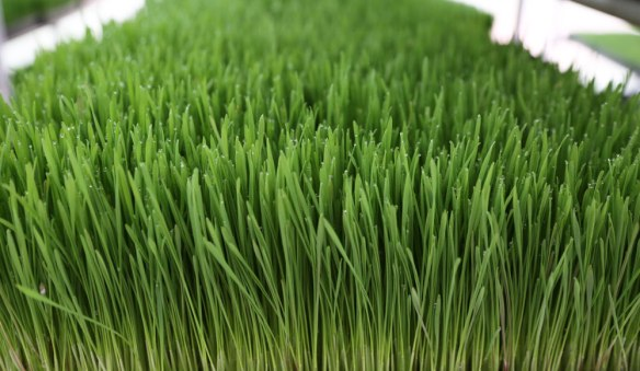 wheatgrass-6+
